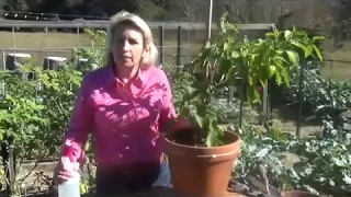 How to Get Rid of Pests on Pepper Plants - Cheaply