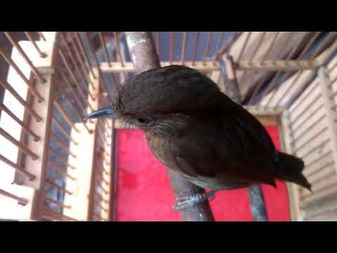 Burung Flamboyan Dengan Suara Khas nya