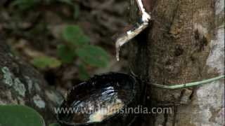 Rubber plantation in India