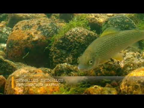 Вопрос: В озёрах с запахом сероводорода водится рыба?