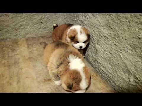 Akita Inu Mladički Puppies