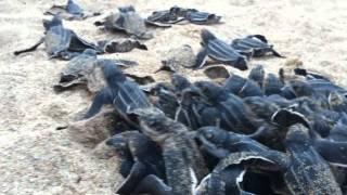 Leatherback turtles being born in Condado-Ocean Park Beach, Puerto Rico