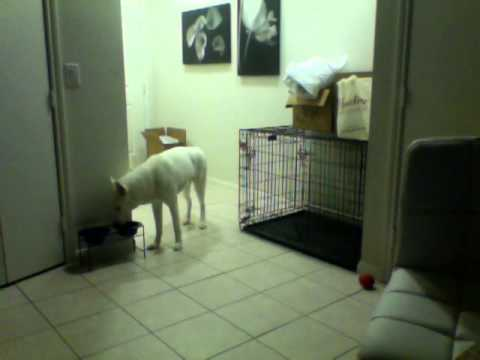 Siberian Husky escapes out of kennel
