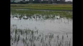 本埜(もとの) 白鳥  2012.11.11 14:50~ 11羽