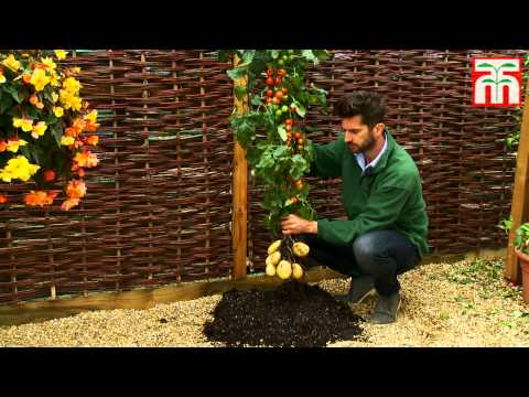 The TomTato – A Plant That Grows Tomatoes above Ground and Potatoes Below
