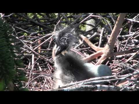 Grey Heron Feeding Chicks アオサギの給餌