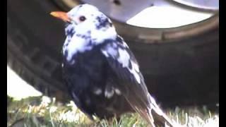 Amsel mit Leuzismus / blackbird with leucism