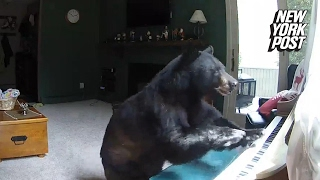 Bear breaks into a house and plays the piano