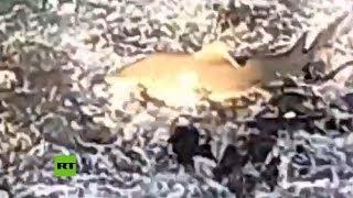 Un tiburón limón salta a superficie para tragar sardinas