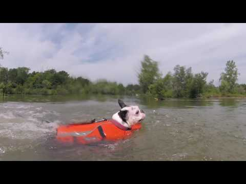 Boston Terrier Swimming with a Doggy Life Jacket
