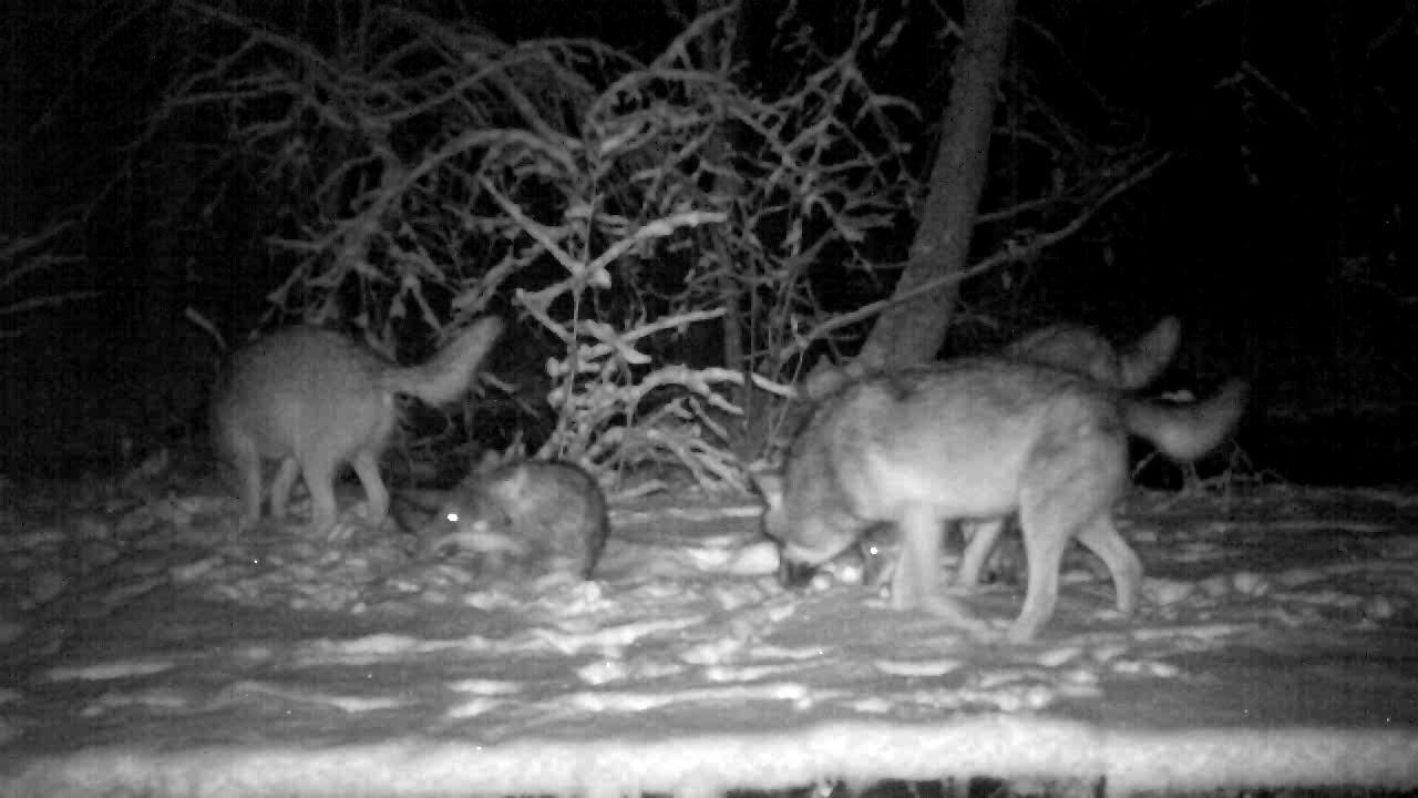 Волки напали на след. Кадры из фотоловушки в Беловежской пуще