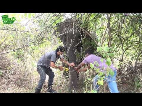 Hunters' trap caught the trunk of a big elephant |wildlife team saves elephant's trunk from trap