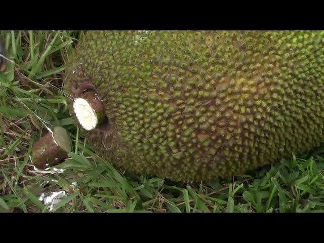 Bí quyết làm MÍT chín tự nhiên ăn được trong 3 ngày (Jackfruit)