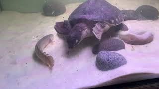 돼지코 거북 밀웜 피딩