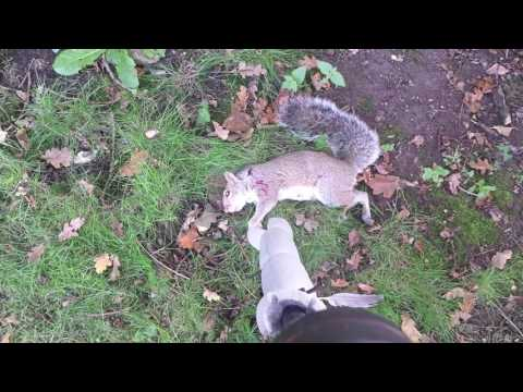 A morning vermin shooting with the air rifle! vlog002 hunting squirrels,rabbits and doves
