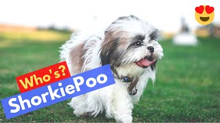 Complete Guide on Shih Tzu and Yorkshire Terrier Cross Breed (ShorkiePoo)