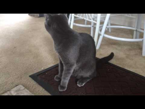 Please Help me Identified my blue gray cat breed????????????