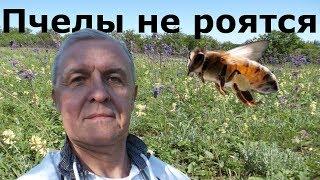 Пчелы не роятся!