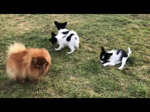 Our papillons and one pomeranian 😉