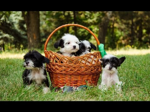 Cute and Funny Chinese Crested Dog Puppies