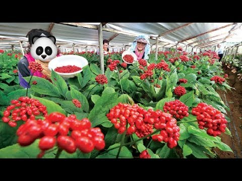 Asia Ginseng Farming And Harvesting - Amazing Korea Agriculture Farm