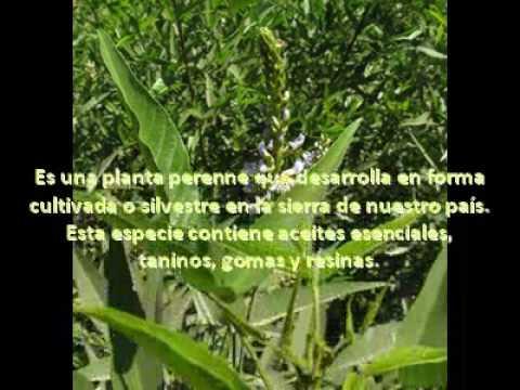 Plantas medicinales del peru youtube for Tipos de hierbas medicinales