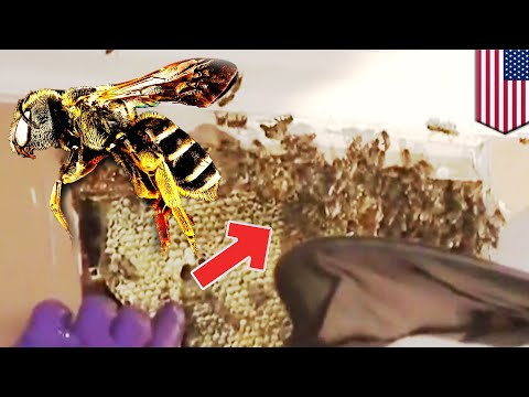 Bees inside wall: Dude finds 30,000 bees inside his house wall - TomoNews