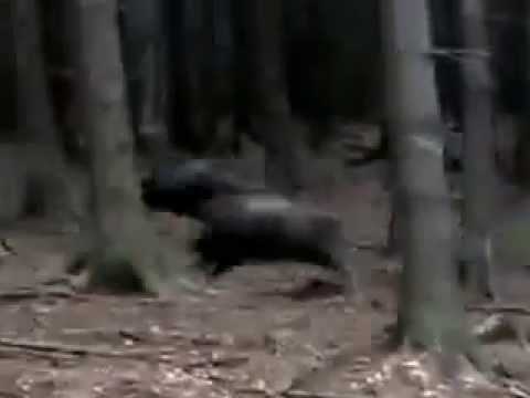 Wild Boar Attacks Human Wild boar attack on hu...