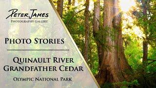 """Quinault River Grandfather Cedar"" - Landscape Photography Stories"