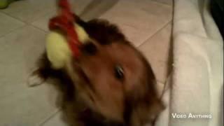 """Sophie- The Pomeranian / Yorkie (aka """"porkie"""") Puppy Playing"""