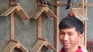 Cara memilih burung lomba merpati pos n cara perawatannya, bersama breeder Mas Bustomi