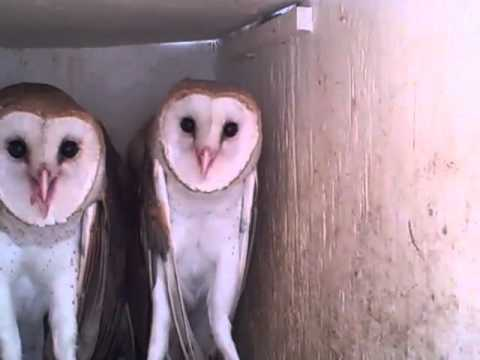 Rehabed Baby Barn Owl Today is Aviary Clean Up