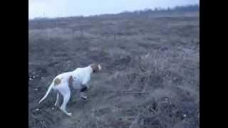 Охота с Пойнтером на куропатку
