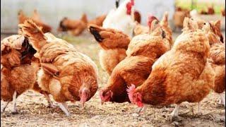 गावरान कोंबडी मिळती मुक्त संचार free range poultry farm gavran kombdi Palan laxman mane 9075001430
