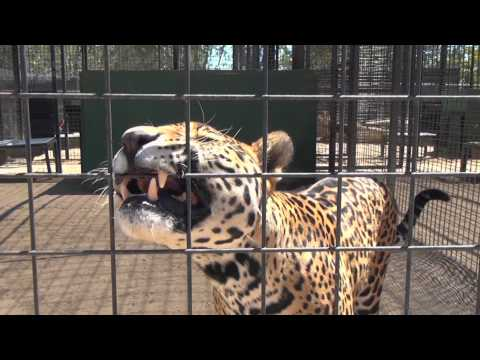 The Cat House: Jaguars - 2D