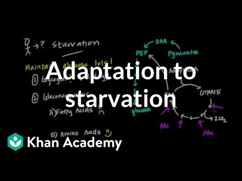 How does the body adapt to starvation?