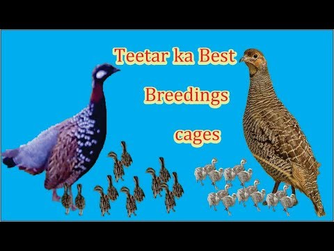 teetar ka best breedings cage size in breedings sesion all birds breedings tips