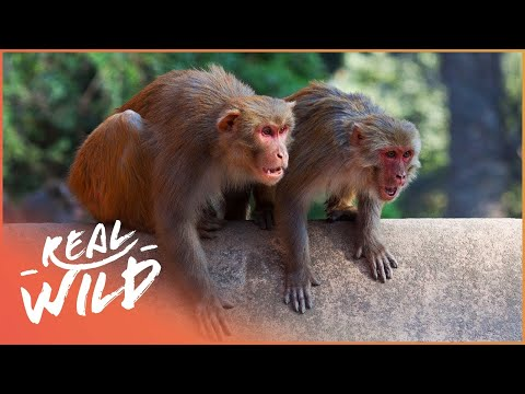 Stopping a War at Mount Edgecombe | Street Monkeys | Wild Things Shorts