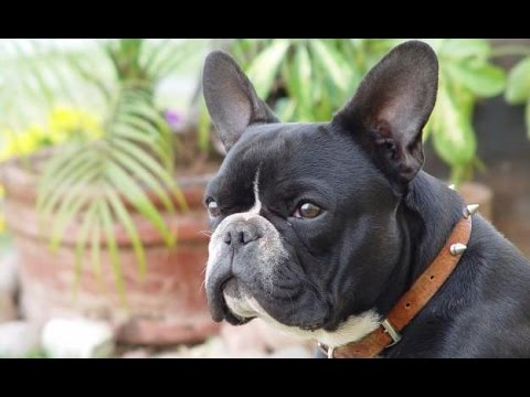French Bulldog - Dog Breed