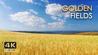 4K HDR Golden Fields - Skylark Birdsong & Cricket Sounds - Grainfields Dancing In The Wind - Relax