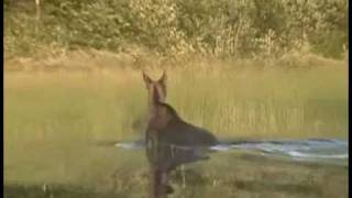 Moose swimming across Missinaibi River