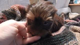 Chocolate Yorkie Puppy Teacup Yorkshire Terrier Pouding Au Chocolat 9 27 13