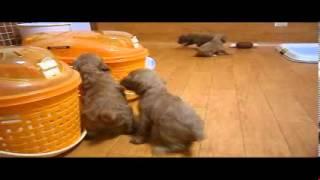 2013年3月25日産まれのミックス犬 Aコッカー×トイプードル 超カ...