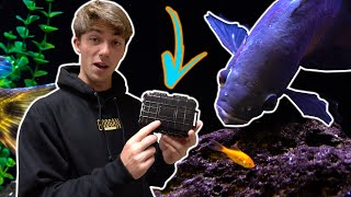 hand-feeding-our-giant-exotic-pet-fish-they-ve-grown