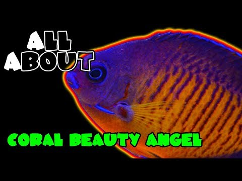 All About The Coral Beauty Angel