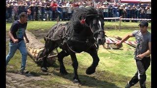 Concurs cu cai de tractiune proba de simplu Gilau, Cluj 8 Iunie 2019 Nou!!!