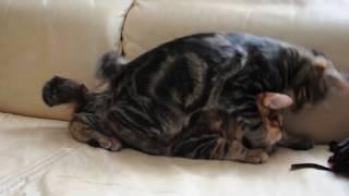 курильский бобтейл продажа котят