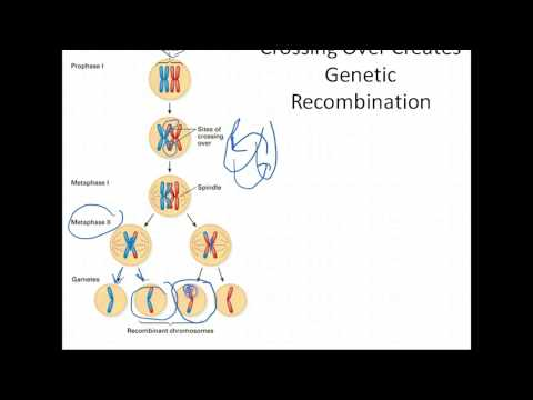 Biology: Meiosis & Genetic Variation (9.6-Biology Exploring Life)