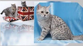 Британские  короткошёрстные коты