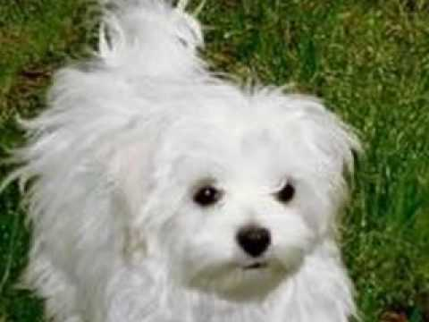 bichon maltese puppies bichon maltese ideal flat dog youtube 4334